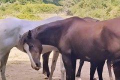 Cavalls a Viladrau